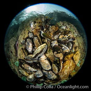 Mussels gather on a rocky reef, filtering nutrients from passing ocean currents. Browning Pass, Vancouver Island