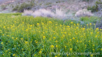 Mustard in bloom during the 2017 Superbloom, Anza Borrego, Anza-Borrego Desert State Park, Borrego Springs, California