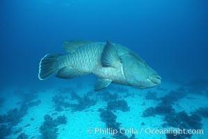 Napolean wrasse. Egyptian Red Sea, Cheilinus undulatus, natural history stock photograph, photo id 05262
