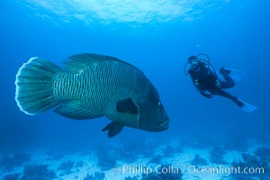 Napolean wrasse and diver, Egyptian Red Sea