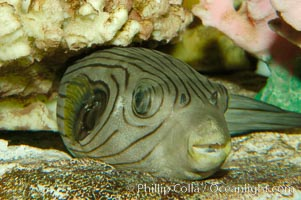 A striped puffer rests under a coral ledge, Arothron manilensis
