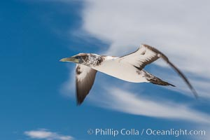 Nazca Booby, Clipperton Island. France, natural history stock photograph, photo id 33096