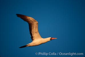 Nazca booby in flight, sunset, Punta Suarez. Hood Island, Galapagos Islands, Ecuador, Sula granti, natural history stock photograph, photo id 01765