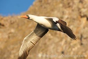 Nazca booby in flight, Sula granti, Wolf Island