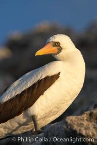 Nazca booby, Sula granti, Wolf Island