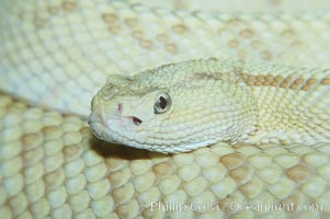 Neotropical rattlesnake., Crotalus durissus, natural history stock photograph, photo id 12562