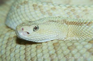 Neotropical rattlesnake, Crotalus durissus