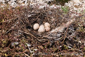 Nest and Eggs, Clipperton Island