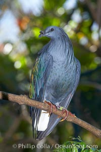 Nicobar pidgeon, native to the Solomon Islands and Philippines, Caloenas nicobarica nicobarica