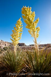 Parry's Nolina, or Giant Nolina, a flowering plant native to southern California and Arizona founds in deserts and mountains to 6200'. It can reach 6' in height with its flowering inflorescence reaching 12', Nolina parryi, Joshua Tree National Park