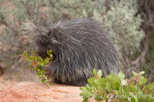 North American porcupine., Erethizon dorsatum, natural history stock photograph, photo id 12149