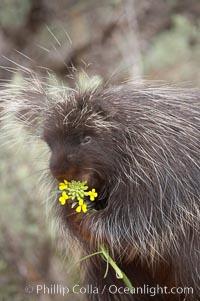 North American porcupine., Erethizon dorsatum, natural history stock photograph, photo id 12152