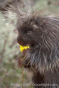 North American porcupine., Erethizon dorsatum, natural history stock photograph, photo id 12153