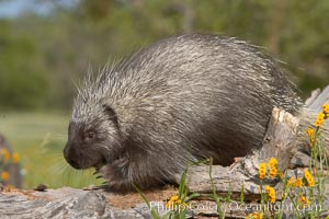 North American porcupine., Erethizon dorsatum, natural history stock photograph, photo id 15936