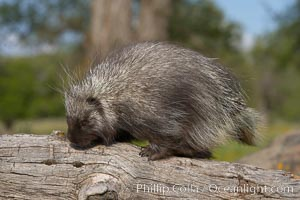 North American porcupine., Erethizon dorsatum, natural history stock photograph, photo id 15943