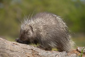 North American porcupine., Erethizon dorsatum, natural history stock photograph, photo id 15945