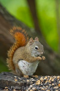 North American red squirrel eats seeds in the shade of a Minnesota birch forest.  Red squirrels are found in coniferous, deciduous and mixed forested habitats from Alaska, across Canada, throughout the Northeast and south to the Appalachian states, as well as in the Rocky Mountains. Orr, Minnesota, USA, Tamiasciurus hudsonicus, natural history stock photograph, photo id 18907
