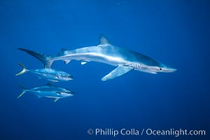 Blue shark and yellowtail in the open ocean, Seriola lalandi, Prionace glauca, San Diego, California