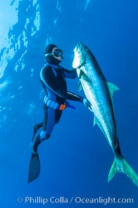 Image 09590, Craig OConnor and his pending spearfishing world record North Pacific yellowtail (77.4 pounds), taken on a breathold dive with a band-power speargun near Abalone Point.  Guadalupe Island is home to enormous yellowtail.  The three most recent spearfishing world records for Northern yellowtail have been taken at Guadalupe. July 2004. Guadalupe Island (Isla Guadalupe), Baja California, Mexico, Seriola lalandi, Phillip Colla, all rights reserved worldwide. Keywords: baja california, california, california yellowtail, freediver snorkler, guadalupe island, international, isla guadalupe, isla guadalupe special biosphere reserve, man and animal, mexico, mossback, north pacific yellowtail, oceans, pacific, people, seriola lalandei dorsalis, seriola lalandi, spearfishermen spearfishing, underwater, yellowtail, yellowtail amberjack, yellowtail jack.