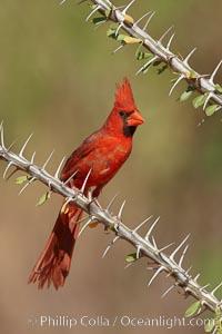 Image 23043, Northern cardinal, male. Amado, Arizona, USA, Cardinalis cardinalis