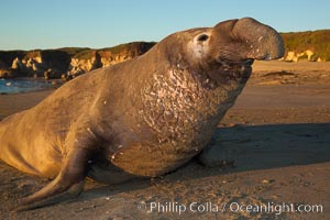Northern elephant seal., Mirounga angustirostris, natural history stock photograph, photo id 26693