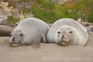 Two adult female elephant seals rest on a sandy beach, winter, Central California, Mirounga angustirostris, Piedras Blancas, San Simeon