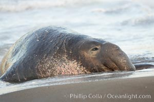Image 15442, An adult male elephant seal rests on a wet beach.  He displays the enormous proboscis characteristic of male elephant seals as well as considerable scarring on his neck from fighting with other males for territory.  Central California. Piedras Blancas, San Simeon, USA, Mirounga angustirostris, Phillip Colla, all rights reserved worldwide.   Keywords: angustirostris:animal:animalia:california:caniformia:carnivora:carnivore:chordata:creature:elefante marino:elephant seal:endangered:endangered threatened species:mammal:mammalia:marine:marine mammal:mirounga:mirounga angustirostris:monterey bay national marine sanctuary:national marine sanctuaries:nature:northern elephant seal:nose:ocean:phocid:phocidae:piedras blancas:pinniped:pinnipedia:proboscis:san simeon:scar:scarring:sea cow:sea elephant:seal:threatened:usa:vertebrata:vertebrate:wildlife.