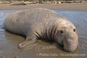 Adult male elephant seal lies on wet sand displaying the huge proboscis that is characteristic of this species.  Winter, Central California, Mirounga angustirostris, Piedras Blancas, San Simeon