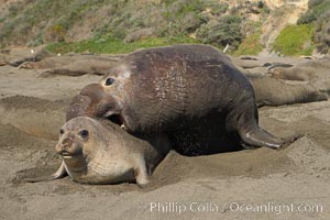 A bull elephant seal forceably mates (copulates) with a much smaller female, often biting her into submission and using his weight to keep her from fleeing.  Males may up to 5000 lbs, triple the size of females.  Sandy beach rookery, winter, Central California. Piedras Blancas, San Simeon, USA, Mirounga angustirostris, natural history stock photograph, photo id 15448