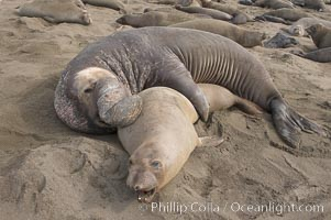A bull elephant seal forceably mates (copulates) with a much smaller female, often biting her into submission and using his weight to keep her from fleeing.  Males may up to 5000 lbs, triple the size of females.  Sandy beach rookery, winter, Central California, Mirounga angustirostris, Piedras Blancas, San Simeon