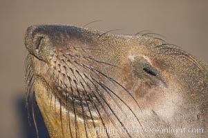 Whiskers on an adult female elephant seal.  Central California, Mirounga angustirostris, Piedras Blancas, San Simeon