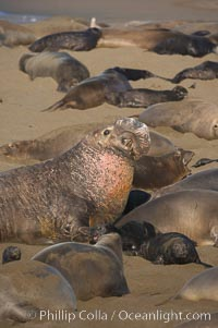 A bull elephant seal (adult male) surveys the beach.  The huge proboscis is characteristic of the species. Scarring from combat with other males.  Central California. Piedras Blancas, San Simeon, USA, Mirounga angustirostris, natural history stock photograph, photo id 15474
