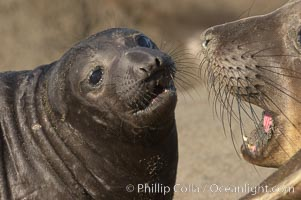 Elephant seal mother and pup vocalize to one another constantly, likely to reassure the pup and confirm the maternal identity on a crowded beach.  Central California, Mirounga angustirostris, Piedras Blancas, San Simeon