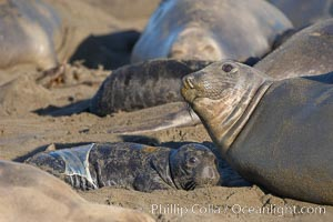 Newborn elephant seal pup, still wearing part of its placental sac, makes its initial bond with its mother.  Winter, Central California, Mirounga angustirostris, Piedras Blancas, San Simeon