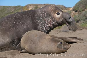 A bull elephant seal prepares to mate with a much smaller female.  Males may up to 5000 lbs, triple the size of females.  Sandy beach rookery, winter, Central California. Piedras Blancas, San Simeon, USA, Mirounga angustirostris, natural history stock photograph, photo id 15504