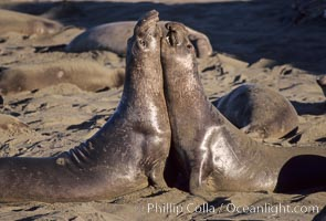Young adult male northern elephant seal, mock jousting/fighting, Mirounga angustirostris, Piedras Blancas, San Simeon, California