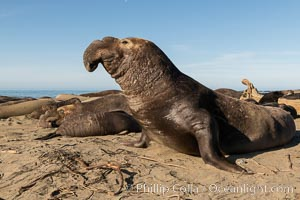 Northern elephant seals, Piedras Blancas. San Simeon, California, USA, natural history stock photograph, photo id 35130