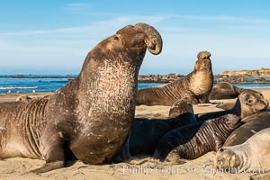 Northern elephant seals, Piedras Blancas. Piedras Blancas, San Simeon, California, USA, natural history stock photograph, photo id 35131