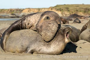A bull elephant seal forceably mates (copulates) with a much smaller female, often biting her into submission and using his weight to keep her from fleeing. Males may up to 5000 lbs, triple the size of females. Sandy beach rookery, winter, Central California, Piedras Blancas, San Simeon