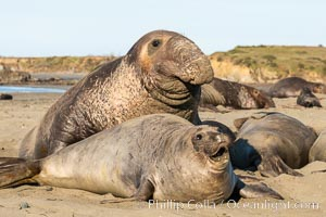A bull elephant seal forceably mates (copulates) with a much smaller female, often biting her into submission and using his weight to keep her from fleeing. Males may up to 5000 lbs, triple the size of females. Sandy beach rookery, winter, Central California. Piedras Blancas, San Simeon, California, USA, natural history stock photograph, photo id 35133