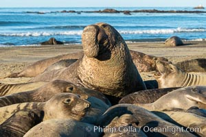 Northern elephant seals, Piedras Blancas, San Simeon, California