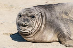 Northern elephant seals, Piedras Blancas. San Simeon, California, USA, natural history stock photograph, photo id 35141