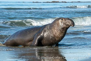 Northern elephant seals, Piedras Blancas. Piedras Blancas, San Simeon, California, USA, natural history stock photograph, photo id 35146