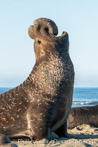 Bull elephant seal, adult male, bellowing. Its huge proboscis is characteristic of male elephant seals. Scarring from combat with other males. Piedras Blancas, San Simeon, California, USA, natural history stock photograph, photo id 35147