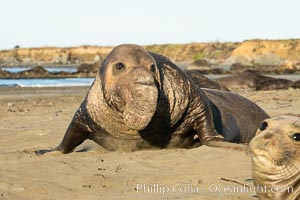 Northern elephant seals, Piedras Blancas. Piedras Blancas, San Simeon, California, USA, natural history stock photograph, photo id 35148