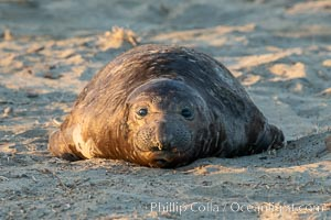 Northern elephant seals, Piedras Blancas. Piedras Blancas, San Simeon, California, USA, natural history stock photograph, photo id 35155