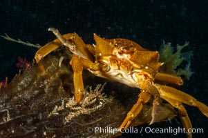Northern kelp crab crawls amidst kelp blades and stipes, midway in the water column (below the surface, above the ocean bottom) in a giant kelp forest, Pugettia producta, Macrocystis pyrifera, San Nicholas Island