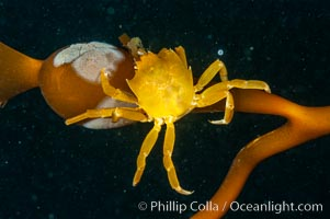 Northern kelp crab crawls amidst kelp blades and stipes, midway in the water column (below the surface, above the ocean bottom) in a giant kelp forest. San Nicholas Island, California, USA, Pugettia producta, Macrocystis pyrifera, natural history stock photograph, photo id 10221