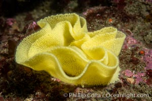 Nudibranch egg mass, likely that of Peltodoris nobilis, Peltodoris nobilis, San Diego, California