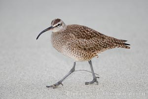 Whimbrel on sand, Numenius phaeopus, La Jolla, California